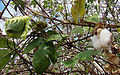 Gossypium hirsutum, Wild Cotton (9780411423).jpg