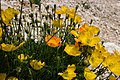 Gran Sasso flora 02.jpg