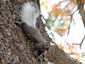 Grand Canyon National Park North Rim - Kaibab Squirrel 0199.jpg