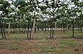 Grapes Field @ Theni - panoramio (1).jpg