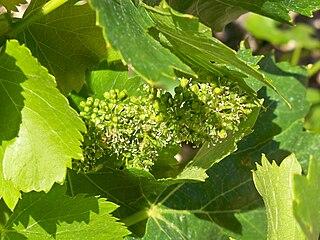 Kvety viniča