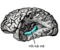 Gray739-emphasizing-hippocampus-vi.png