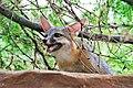 Gray fox kit (49179296948).jpg