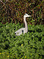 Great Blue Heron (Ardea herodias).jpg