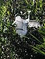 Great Egrets fighting (6743070913).jpg