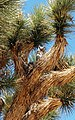 Great Horned Owl (Bubo virginianus) in Joshua tree (Yucca brevifolia) near Black Rock - 12938307524.jpg