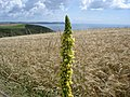 Great Mullein - Verbascum thapsus - geograph.org.uk - 1181409.jpg
