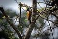 Greater flameback foraging on tree.jpg