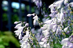 Linnaeus Arboretum - Greater Gustavus Hosta Garden