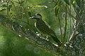 Green-barred Woodpecker(Colaptes melanochloros) (8077674877).jpg
