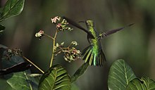Green-tailed Goldenthroat.jpg