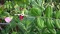 Green Bean's leaves & flowers.jpg