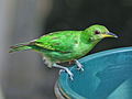 Green Honeycreeper SMTC.jpg