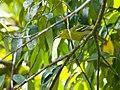Green Iora (14080622704).jpg