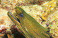 Green Moray (Gymnothorax funebris) - Sponge Forest Reef, Curaçao N.A.jpg
