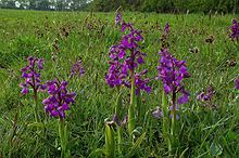 Green Winged Orchids - geograph.org.uk - 790815.jpg