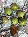 Green star apple in kerala.jpg