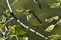 Greenish Warbler - Uzbekistan S4E8607 (19271353041).jpg