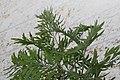 Grevillea robusta 17zz.jpg
