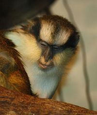 Grey's Crowned Guenon 065.jpg