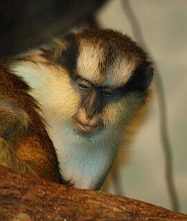 Crested mona monkey Species of Old World monkey