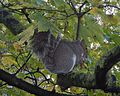 Grey Squirrel with Sycamore fruits GT.jpg