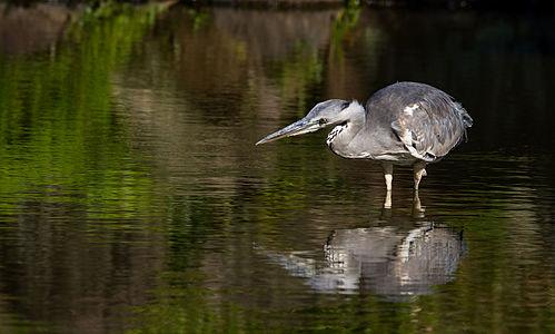 Grey heron, Osaka, Japan.