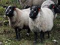 Grey troender sheep.jpg