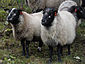 Grey troender sheep.jpg