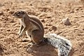 Ground squirrel, Northern Cape (6252688395).jpg