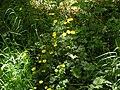 Ground vegetation, Widewell woods - geograph.org.uk - 69717.jpg