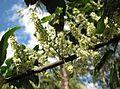 Guioa acutifolia flowers Kewarra 4470.jpg