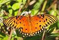 Gulf Fritillary - Agraulis vanillae, Arthur Marshall Loxahatchee National Wildlife Refuge, Boynton Beach, Florida (38143434055).jpg