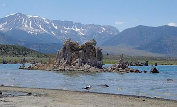Gull feeding on flies with tufa and Sierra Nevada in background-closeup-1000px.jpg
