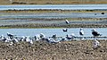 Gulls - Springdale, Newfoundland 2019-08-16 (02).jpg