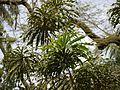 Gustavia superba (4631013129).jpg