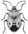 HEMI Pentatomidae Cermatulus nasalis hudsoni f.png