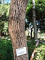 HK CWB 銅鑼灣 Causeway Bay 維多利亞公園 Victoria Park tree trunk n green leaves December 2019 SSG 10.jpg