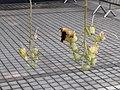 HK Central 愛丁堡廣場 Edinburgh Place 香港大會堂紀念花園 City Hall Memorial Garden 吊瓜樹 Sausage 臘腸樹 Kigelia Pinnata September 2019 SSG 01.jpg