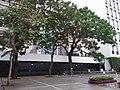 HK Central City Hall 愛丁堡廣場 Edinburgh Place 香港大會堂紀念花園 Memorial Garden trees Dec 2018 SSG 03.jpg
