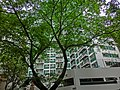 HK Mid-Levels 88 Bonham Road PLAHK Western Barracks tree Apr-2013.JPG