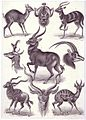 Haeckel antilopen.jpg