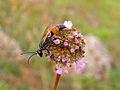Hairy Sand Wasp (Podalonia hirsuta) (8332210565).jpg