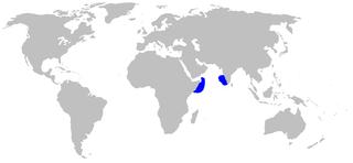Quagga catshark Species of fish