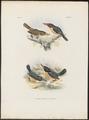 Halcyon pulchella - 1863-1876 - Print - Iconographia Zoologica - Special Collections University of Amsterdam - UBA01 IZ16800075.tif