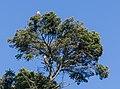 Haliaeetus leucocephalus. Swan Lake Christmas Hill Nature Sanctuary, Saanich, British Columbia, Canada 09.jpg