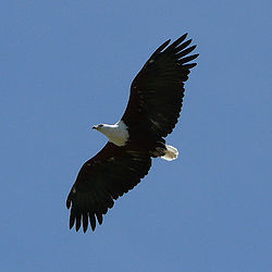 Haliaeetus vocifer -Malawi -flying-8-4c.jpg