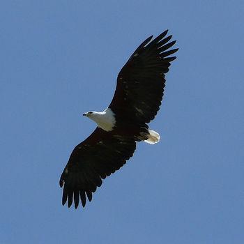 An African Fish Eagle flying in Malawi. Bird a...