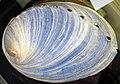 Haliotis iris (blackfoot paua abalone) 1 (23823893279).jpg