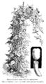 Haricot beurre blanc Roi des mangetout Vilmorin-Andrieux 1904.png